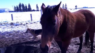 Horses Making Noise Eating Hay  - Video