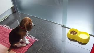 Extremely disciplined beagle puppy waits for his food - Video