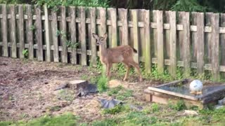 Fawn Fence Fail - Video