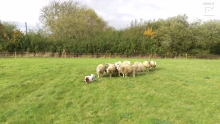 Basset Hound Is Unlikely Sheep Dog - Video