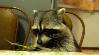 Raccoon Feasts On Grapes Making Munching Sounds - Video