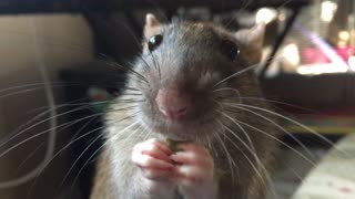 Who knew rats could be so adorable? - Video