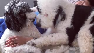 Poodles love spending time with owner while he sleeps - Video