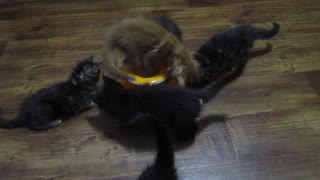 7 Weeks Old Kittens Playing Ball