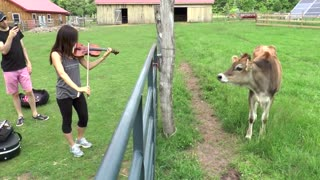 Curious Cows React To Live Violin Performance  - Video