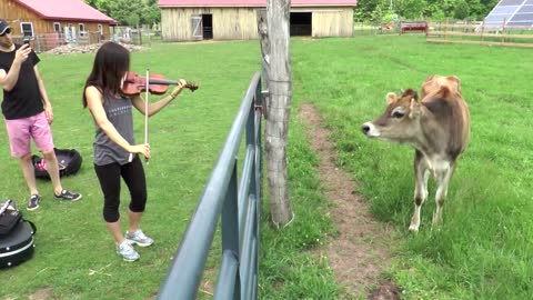 Curious Cows React To Live Violin Performance
