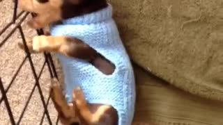 Dachshund Puppy Doing Sausage Rolls!  - Video