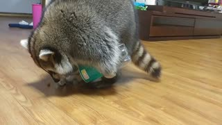 Clever raccoon knows how to pour treats from bottle - Video