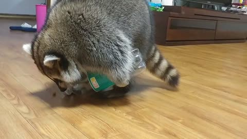 Clever raccoon knows how to pour treats from bottle