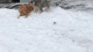 Large tan dog and small grey dog play in the snow  - Video