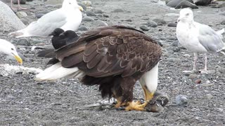 Photographer captures incredible closeup footage of Bald Eagles feeding - Video