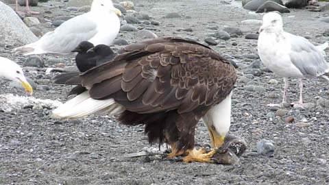 Photographer captures incredible closeup footage of Bald Eagles feeding