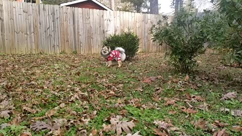 Pomsky dashing through the leaves in her Christmas sweater!