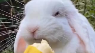 Adorable bunny enjoys sweet banana