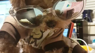 Cute Dog Wearing Shades - Video