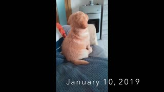 Golden Retriever loves watching cartoons his whole life