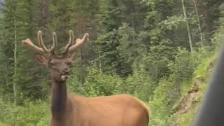 Elks Have The Right-of-Way in Jasper Canada