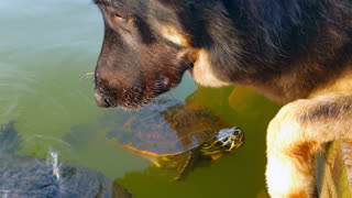 Dog and Turtles unlikely friends