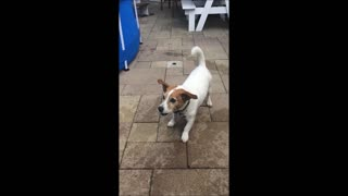 Jack Russell catching squirts from waterpistol  - Video