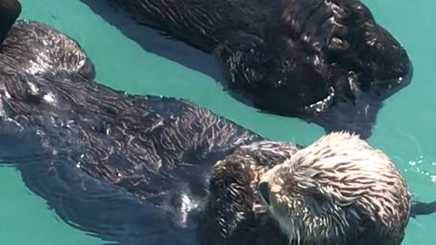 Sleepy Otters Adorably Nap Together Off Alaskan Dock