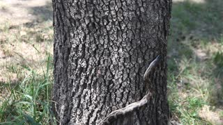 Texas Ratsnake climbing a tree - Video