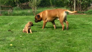 Bullmastiff pup meets Dad for the first time- Bullmastiff Pup, nr Rugeley - Lichfield - Video