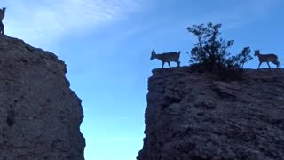 Family of Goats Jump Over Gap on Mountain😍
