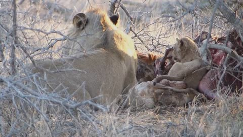 Tiny lion cub joining dad and mom for dinner