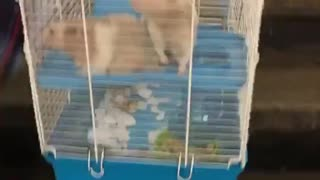 Man carries two rats in large blue and white cage