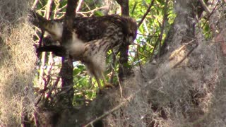 Red Shoulder Hawk vs Snake - Video