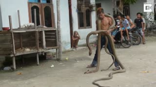 Snake Charmer Carries 13 Foot Cobra Around Neck - Video