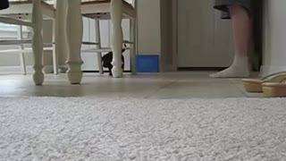 Lab/Husky mix puppy learning her name