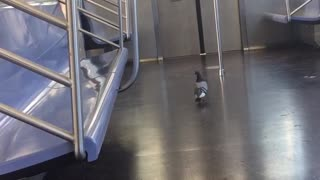 Pigeon in subway flies out of door when subway stops and opens