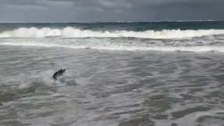 Bulldog sprints across beach waves
