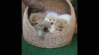 Funny Dogs Playing With Toys - Funny Dog Videos 2017 - Video