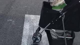 Pug pushed across street in black baby stroller