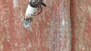 Spider Spins a Joint