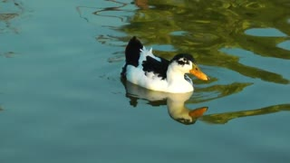 Black and white duck on the lake - With great music