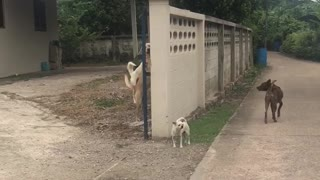 Dogs Defend Wall - Video