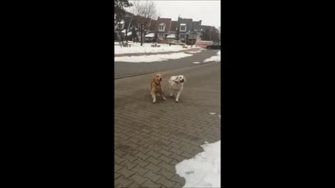 Young Golden Retriever helps walk aged dog