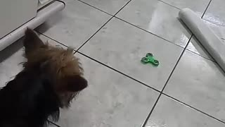 Small dog scared of green fidget spinner - Video