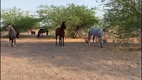 arabian horses run outside farm