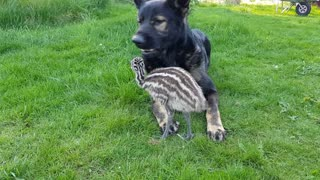 German Shepherd befriends baby emu - Video