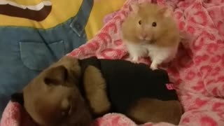 Hamster & Puppy Best of Friends  - Video