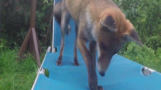 Fox Chewing Camera - Video