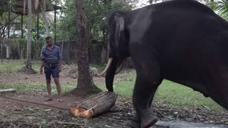 Tusker elephant eating food  - Video