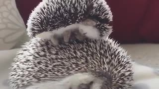 Small little hedgehog sleeping on the back of his mother