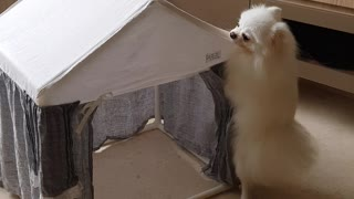 Pomeranian's Doggylicious Dance Moves