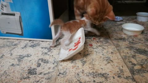Male Cat Fight Over Beaf With baby
