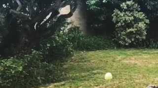 Scruffy Grey Dog Misses Ball Catch - Video